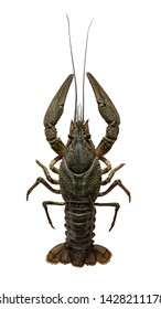 Astacus leptodactylus, the Danube, Galician, Turkish or narrow-clawed crayfish is a species of brackish water crayfish