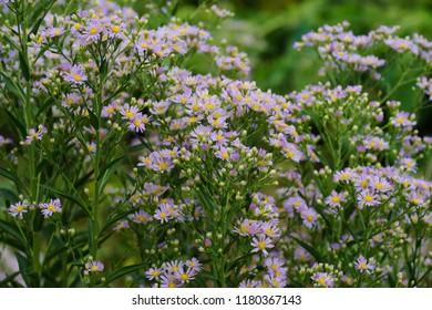 Aster ageratoides (Nokon-giku) - Shutterstock ID 1180367143