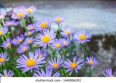 Aster alpinus or Alpine aster. Decorative garden plant with purple flowers. Beautiful sweet perennial right flowers are in summer garden. Carpet of little blue flowers.