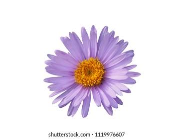 Aster alpinus (Alpine aster) flower isolated on white background.