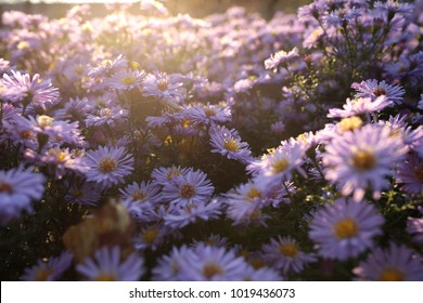aster alpinus alpine aster in late autumn at sunset