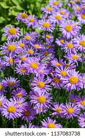 Aster alpinus (Aster alpinus)is a perennial herbaceous plant. Flowering period in the suburban area