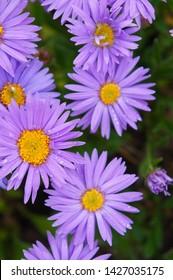 Aster alpinus dunkle schone purple flowers vertcal close up