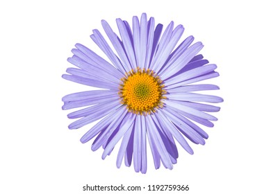 Aster alpinus isolated on white background,Aster alpinus purple violet flowers in bloomAster alpinus purple violet flowers in bloom, Alpine aster flowering mountain plant