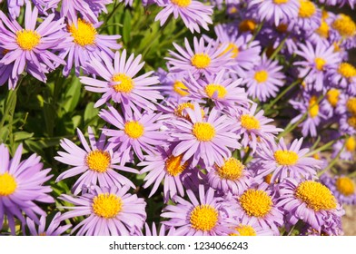 Aster alpinus violet flowers