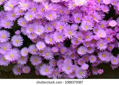 Aster amellus, the European Michaelmas-daisy