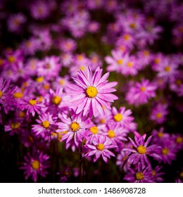 Aster amellus, the European Michaelmas-daisy is a perennial herbaceous plant of the genus Aster. Lilac petals with yellow centres, Full frame floral background, crop to square.