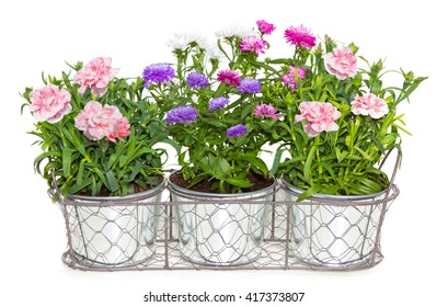 Aster and Dianthus flowers potted in metal flowerpots on white.