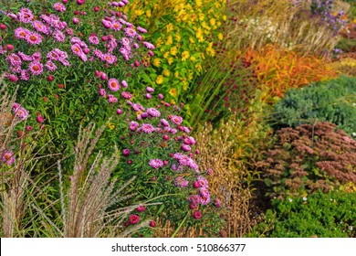 The Aster (Aster dumosus) in an autumn garden. Autumn perennial Aster with beautiful flowers