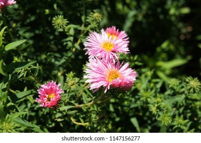 Aster dumosus or bushy aster pink flowers