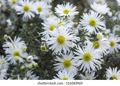 Aster ericoides, Symphyotrichum ericoides, Aster ericoides, white heath aster, white aster, heath aster, snow flurry flower in bloom