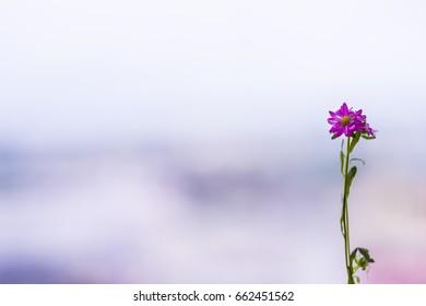 Aster, flower.