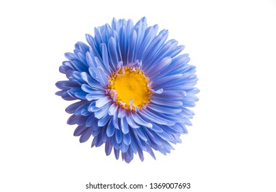aster flower isolated on white background