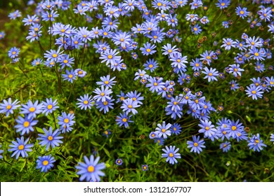 Aster flowers. Alpine Aster. Decorative garden flowers in the garden. Beautiful garden. Violet flowers, purple flowers.