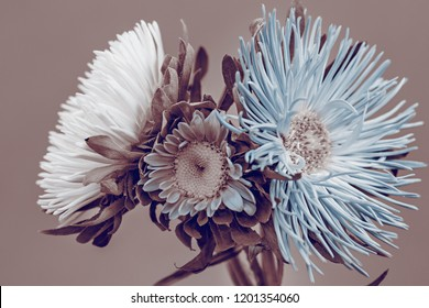Aster flowers, bouquet, sepia effect.