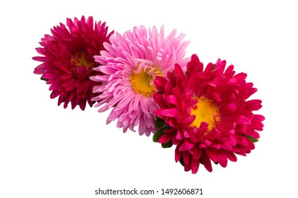 aster flowers isolated on white background