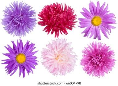 aster flowers set