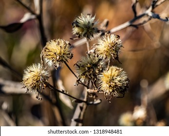 Aster flowers that have dried and gone to seed in late winter. Asters, daisies, and similar flowers produce seeds that are blown on the wind like dandelions.
