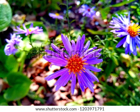 Aster Genus Perennial Flowering Plants Family Stock Photo Edit Now
