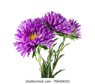 Aster isolated on white background closeup