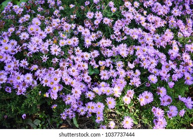 Aster Laevis (Smooth Aster) flowers, close up