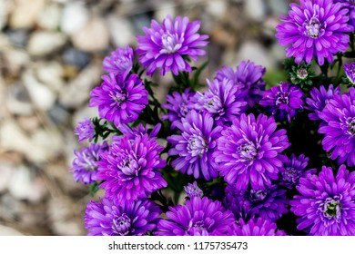 Aster of New Belgium called Henry I Purple - autumn flowers Aster novi-belgii