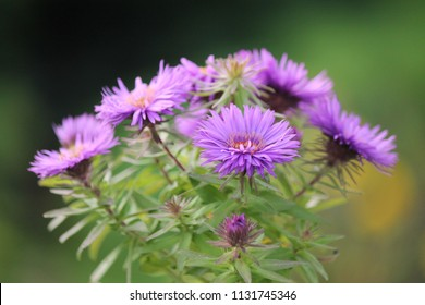 aster nova angliae purple dome