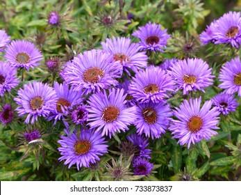 Aster novae-angliae , Purple Dome, Asteraceae family