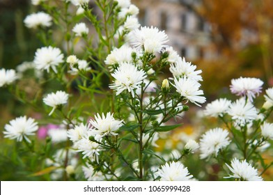 Aster novi-belgii white ladies michaelmas daisy