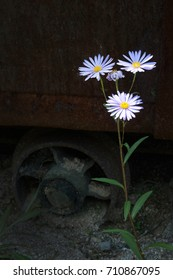 Aster at old train background
