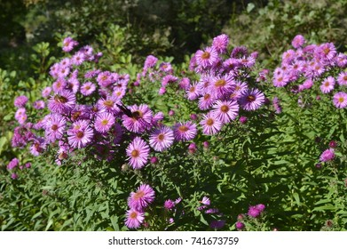 Aster pringlei Pink Star - bush with light pink flowers