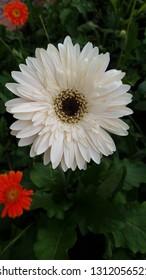 Asteraceae flower in garden,white flower dark background