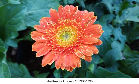 Asteraceae flower on leaf,Orange flower background