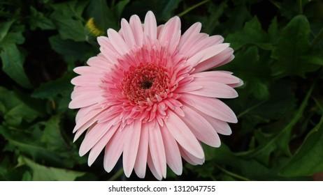 Asteraceae flower on leaf,Pink Asteraceae flower