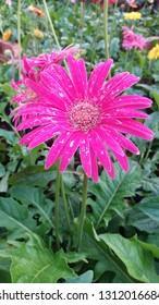 Asteraceae flower on leaf,Pink flower in nature