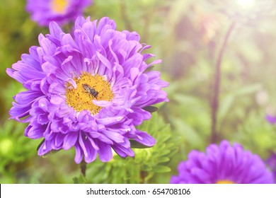 Asters bloom in the garden. Close up of an insect pollinating of the Aster. Model aster amellus.