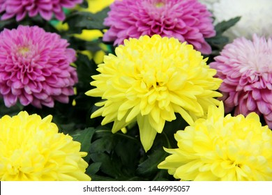 Asters are multicolored, selective focus. Asters bright yellow, pale pink and white colors, close-up. Variety of choice of flowering asters in the store for the garden