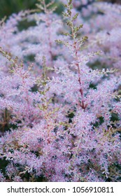 Astilbe arendsii amethyst pink plant