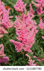 Astilbe Arendsii (Astilbe x arendsii) in garden, Moscow region, Russia