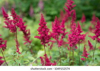 Astilbe chinensis flowers bloom in the garden
