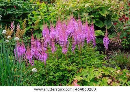 Charmant Astilbe Chinensis (Maxim) In Garden