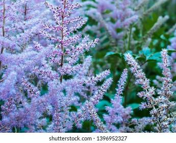 Astilbe (false spiraera) purple bloom in the spring