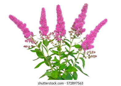 Astilbe flower isolated on white background