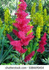 Astilbe flowers in garden