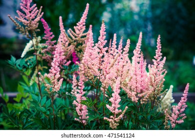 Astilbe flowers growing in the garden. Shallow depth of field.