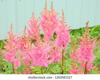 astilbe in the garden
