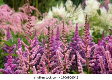 Astilbe pink 'obergartner jurgens arendsii' in flower in the summer months