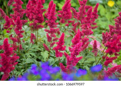 Astilbe the Red. Summer flower garden
