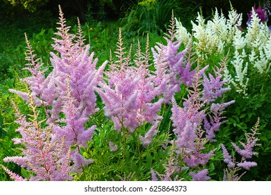 Astilbe Saxifragaceae A flower with no glitter  Summer beautiful texture Blurred background False Spiraea, salsify
