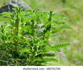 Astragalus. milkvetch. goat's-thorn. vine-like. astragalus sieversianus. Kazakhstan. Tien Shan. Trans-Ili Alatau